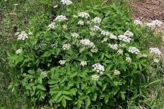 Goutweed-plant-growing-wild