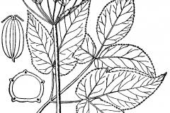 Sketch-of-Goutweed