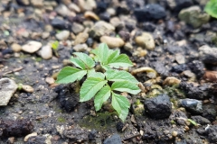 Small-Goutweed-plant