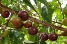 Governor's-plum-ripe