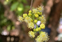 Governor's-plum-foliage-and-flowers