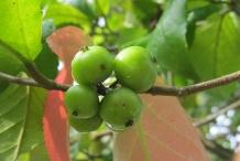 Governor's-plum-unripe