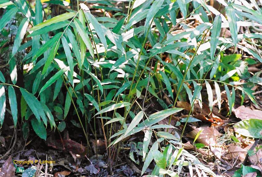 Grains-of-Paradise-plant