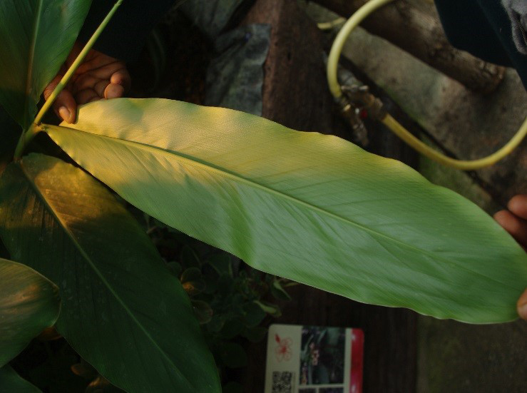 Leaf-of-Grain-of-Paradise-plant