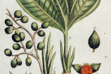 Grain-of-Paradise-plant-Illustration