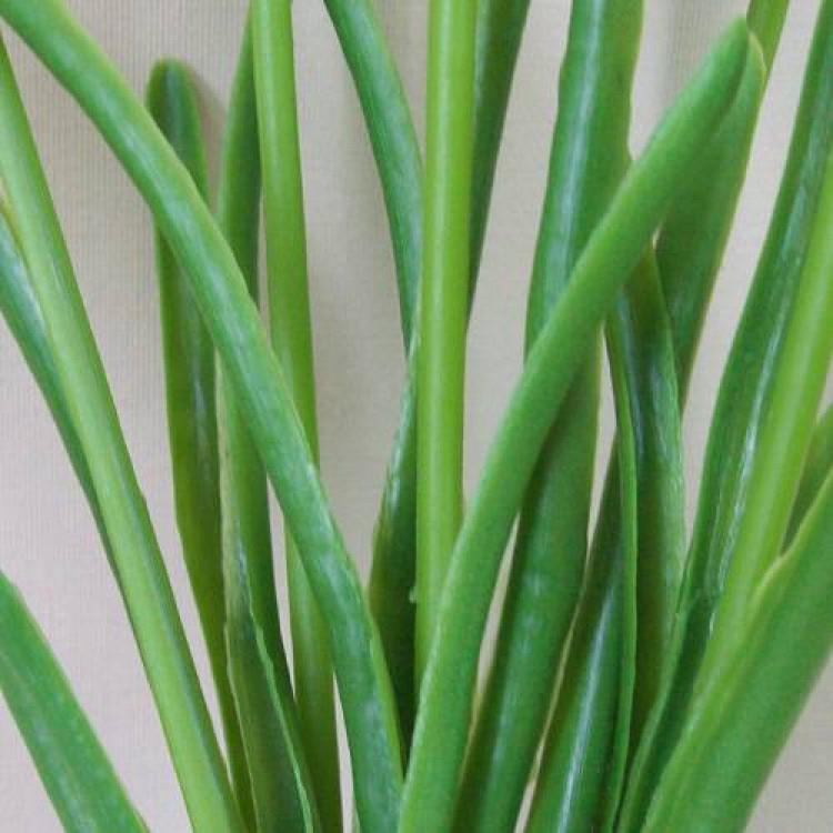 Grape-Hyacinth-leaves