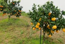 Grapefruit-Plant