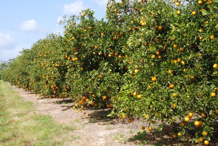 Grapefruit-farm