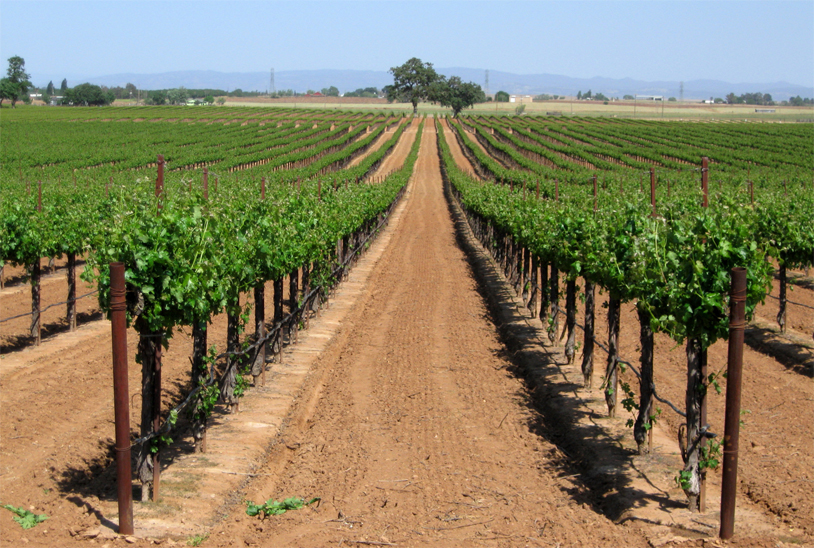 Grape-farm