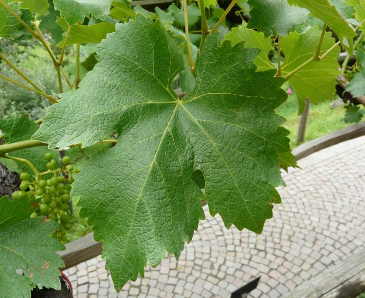 Leaves-of-Grapes