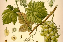 lllustration-of-Grapes