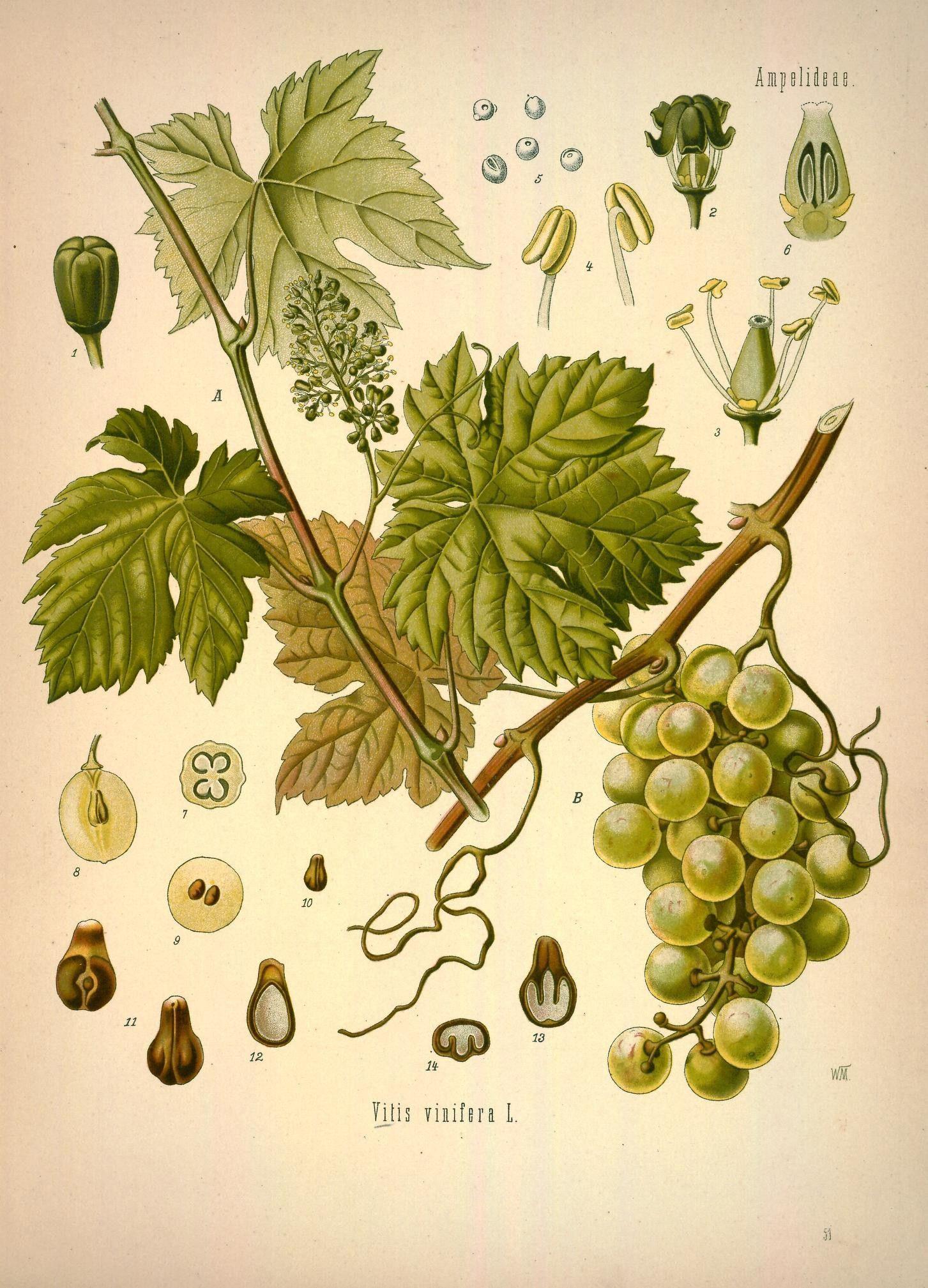 lllustration-of-Grapes
