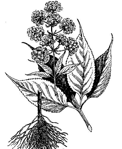 Gravel-Root-Sketch