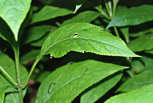 Leaves-of-Gravel-Root-plant