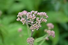 Buds-of-Gravel-Root-plant