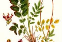 Great-Burnet-plant-Illustration