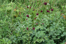 Great-Burnet-plant