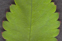 Great-Burnet-leaf