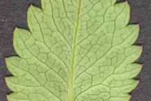 Underside-view-of-Great-Burnet-leaf