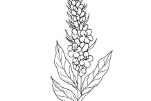Sketch-of-Great-mullein