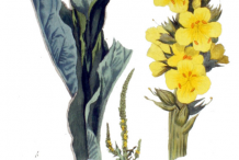 Plant-Illustration-of-Great-mullein