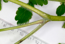 Branch-of-Greater-Celandine-plant