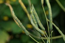 Fruit-of-Greater-Celandine-plant