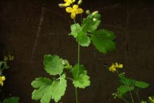 Greater-Celandine-Plant