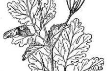 Greater-Celandine-plant-Sketch