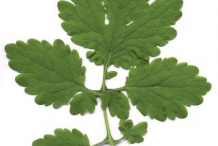 Leaf-of-Greater-Celandine-plant