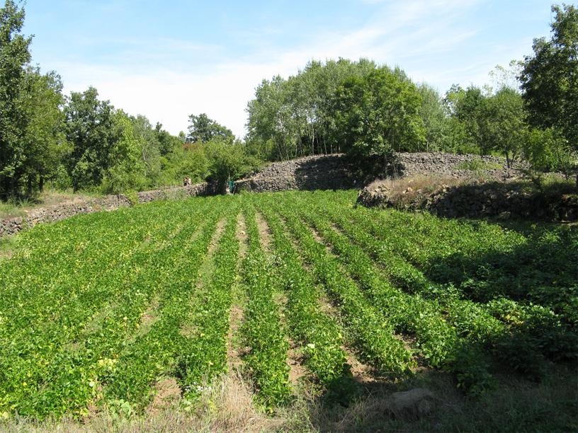 Green-peas-farm