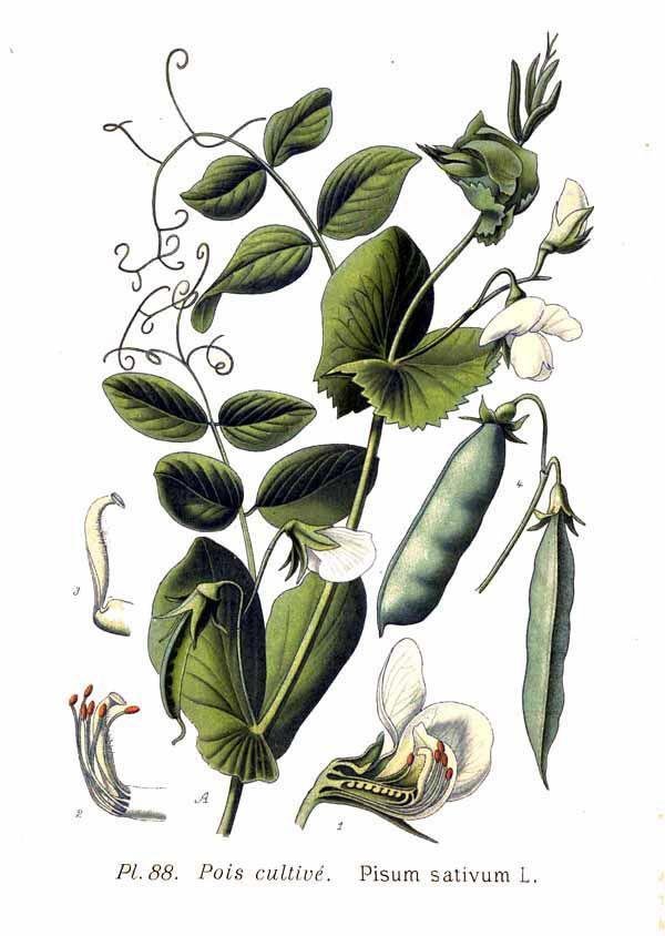 Plant-illustration-of-Green-peas