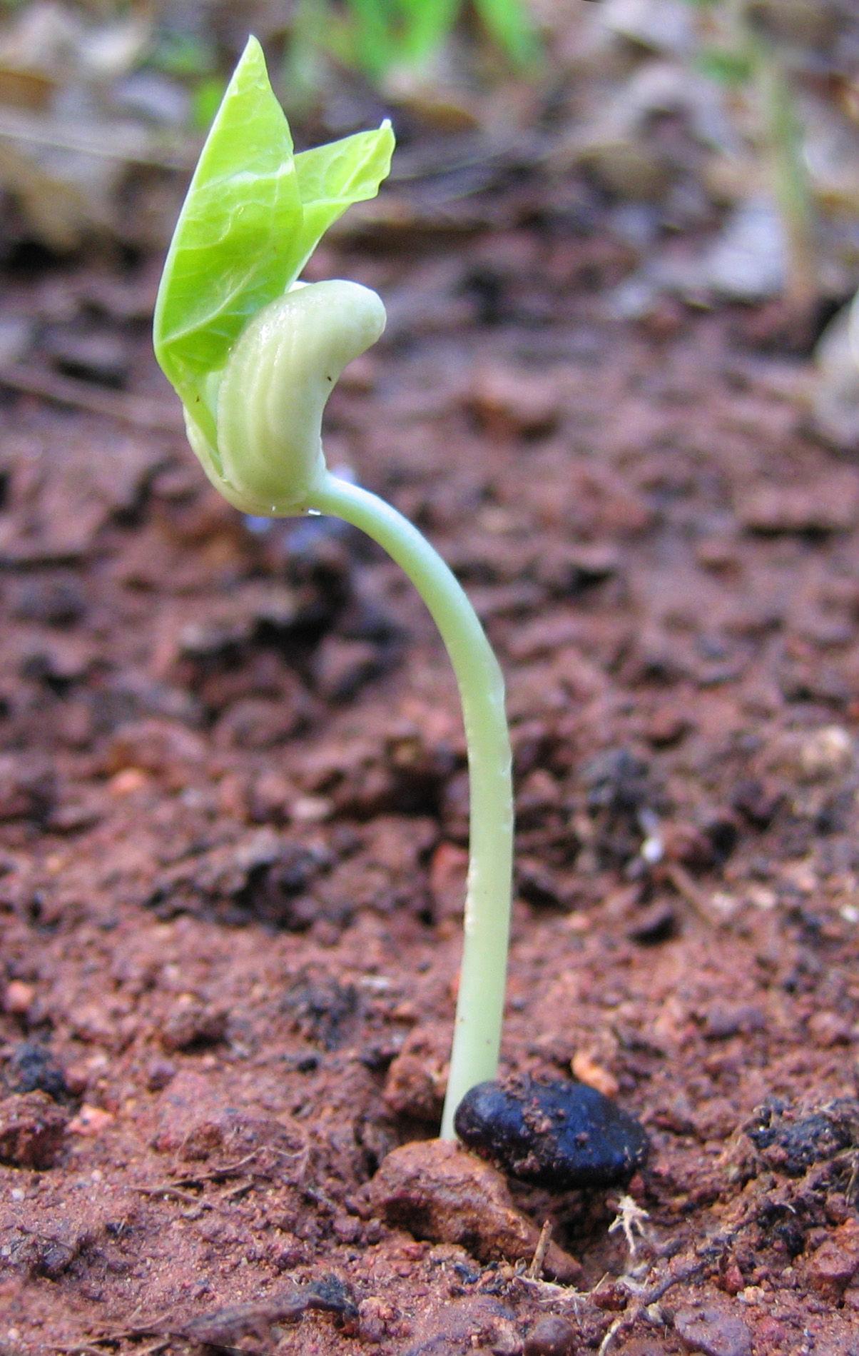 Seedlings-of-Green-peas