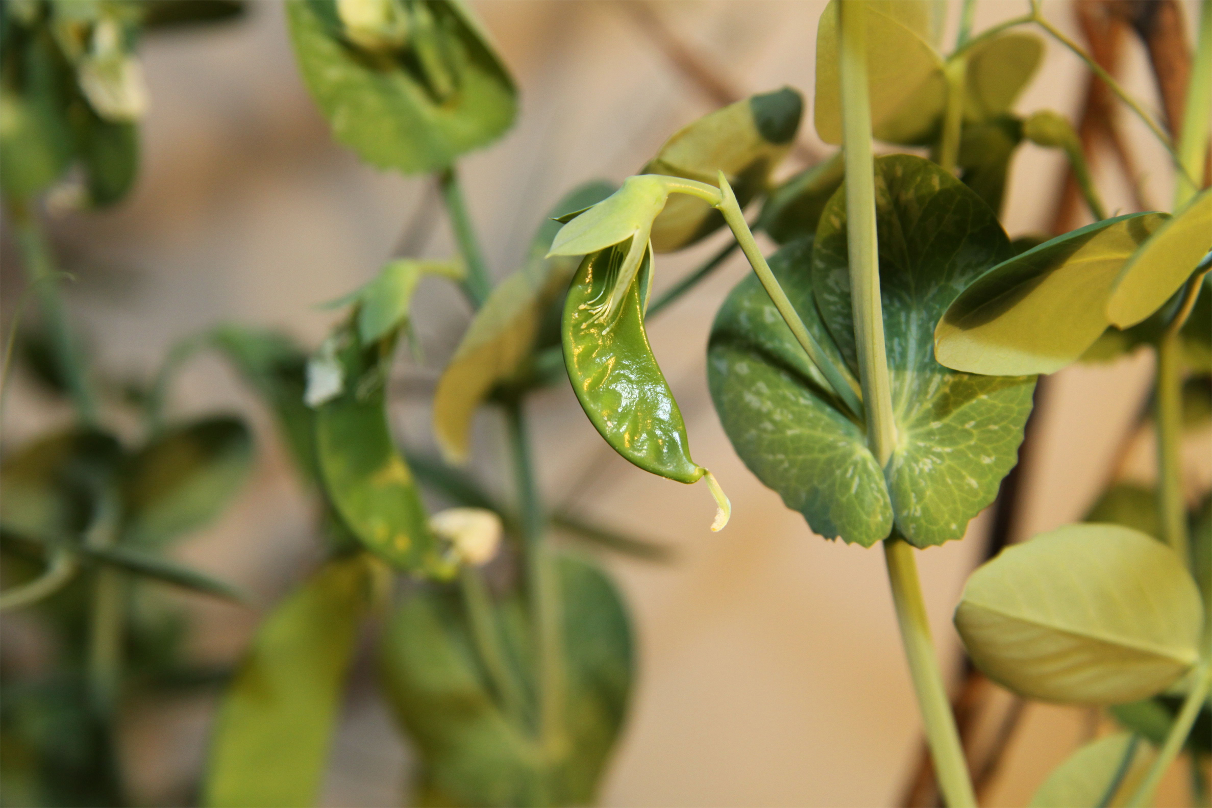 Young-pods-of-Green-peas