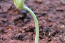 Seedlings-of-Green-peas