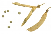 Dried-pods-of-Green-peas