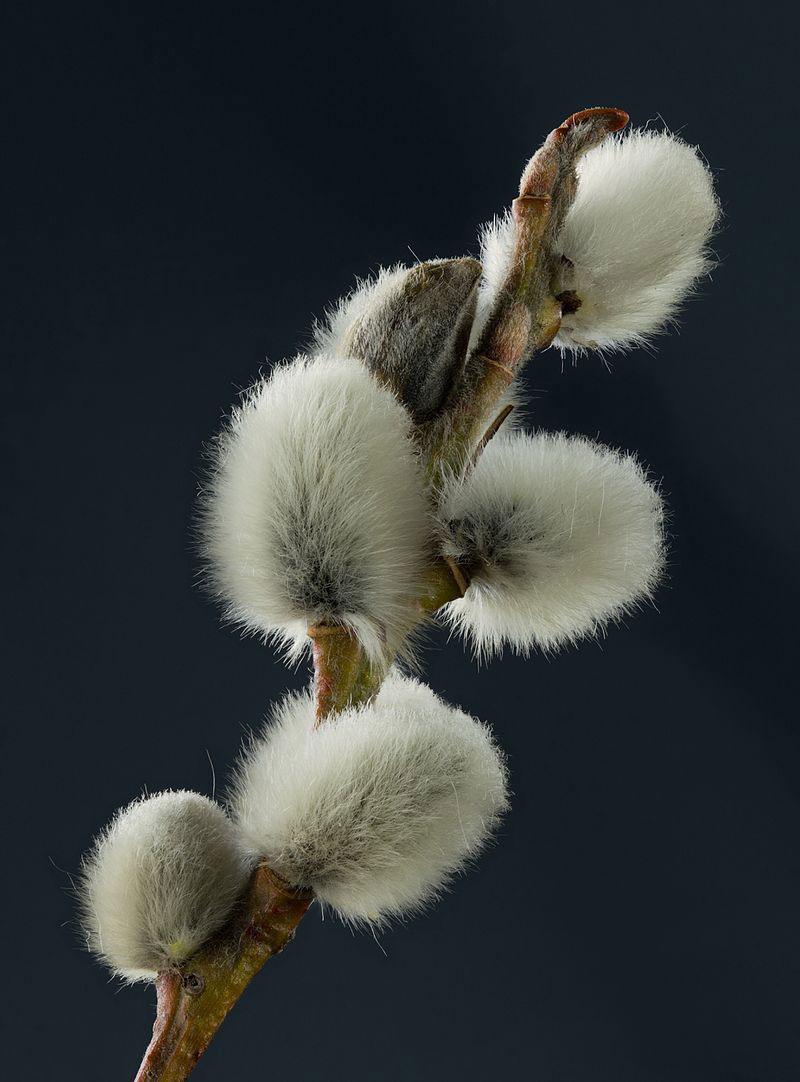 Flowers-of-Grey-sallow
