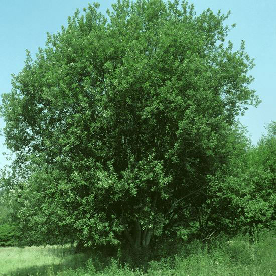 Grey-sallow-plant