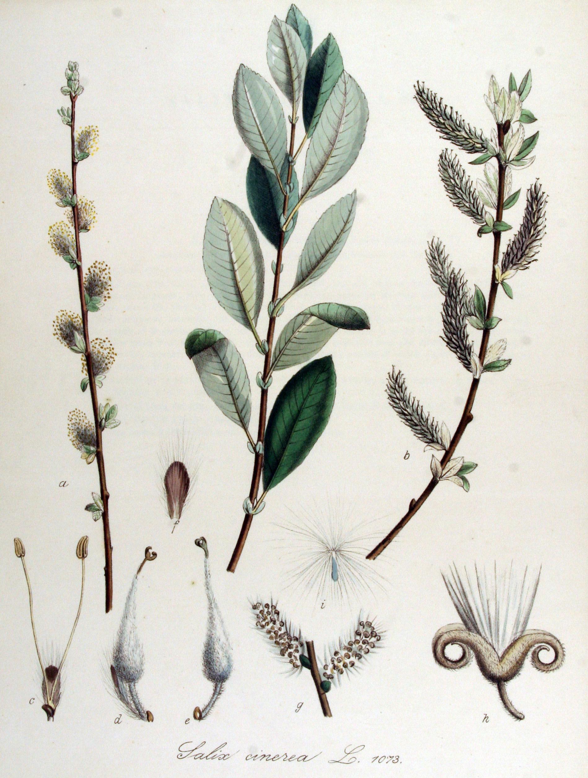 Plant-illustration-of-Grey-sallow
