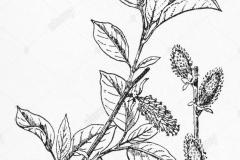 Sketch-of-Grey-sallow
