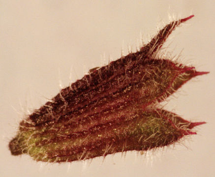 Calyx-of-Ground-ivy-flower