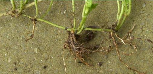 Root-of-Ground-Ivy-plant
