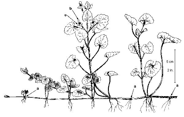 Sketch-of-Ground-Ivy-plant
