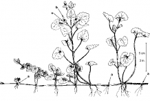 Sketch-of-Ground-Ivy-plant