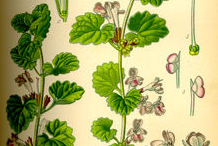 Ground-ivy-plant-Illustration