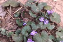 Ground-ivy-plant