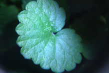 Leaf-of-Ground-ivy-plant