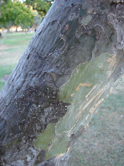 Guaiacum-bark