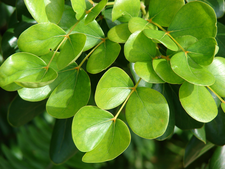Guaiacum-leaves