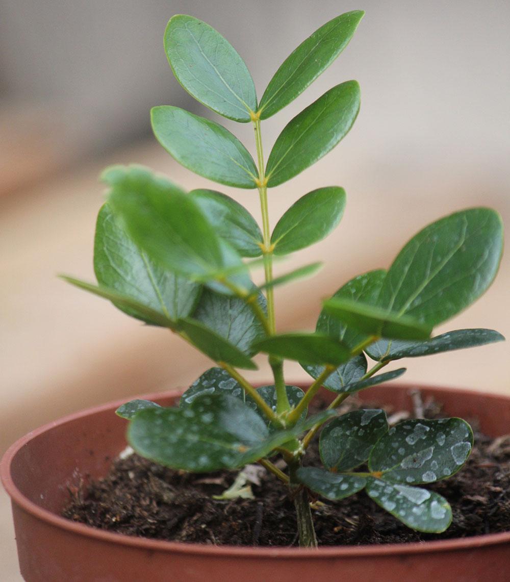 Guaiacum-seedlings